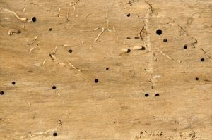 Woodworm in Bristol