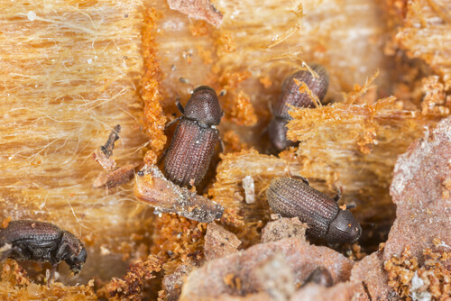 Wood boring beetle hatching